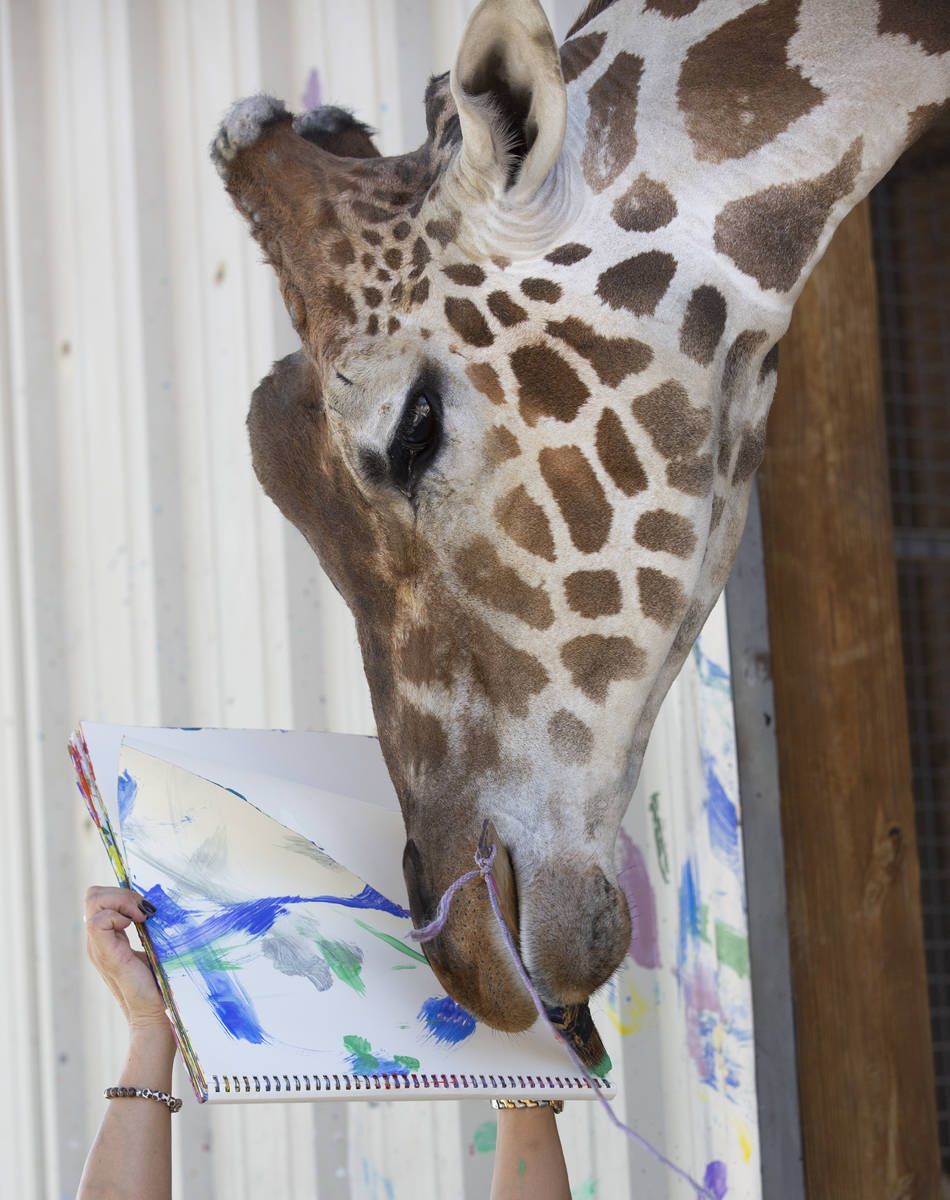 Ozzie the giraffe paints a picture at the Lion Habitat Ranch on Monday, July 13, 2020, in Hende ...