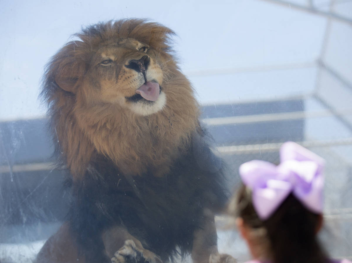 Bentley licks raw meat from the window of his cage at the Lion Habitat Ranch on Monday, July 13 ...