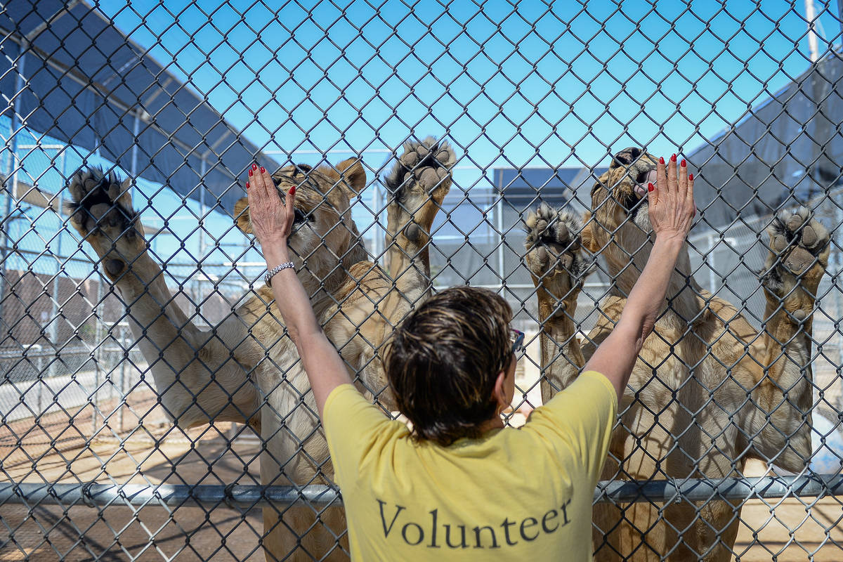 Laney Gutstein, a volunteer from Henderson, feeds a pair of lionesses at the Lion Habitat Ranch ...