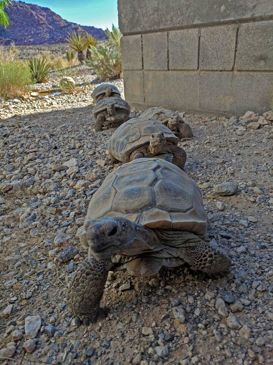Tortoises on the march at the Red Rock Canyon Tortoise Habitat. (Friends of Red Rock Canyon)