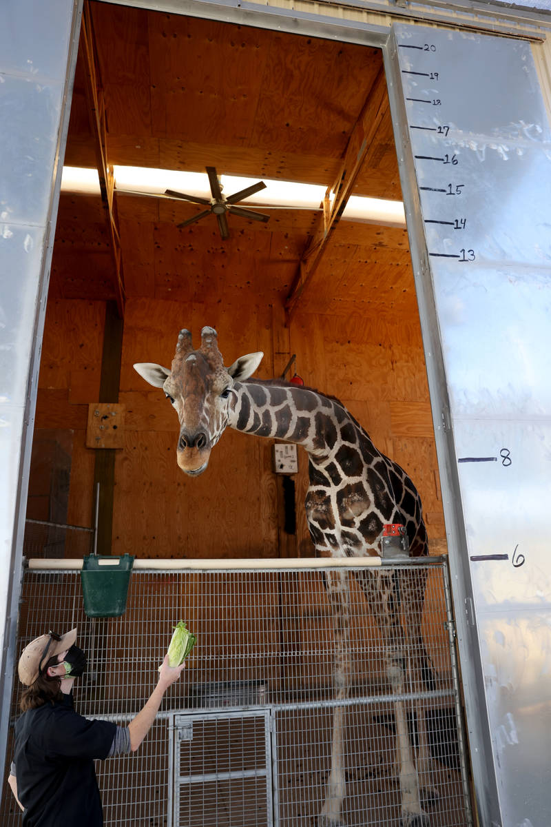 Ozzie the giraffe greets Keeper/Trainer Megan Oberg during a week-long celebration of his 7th b ...