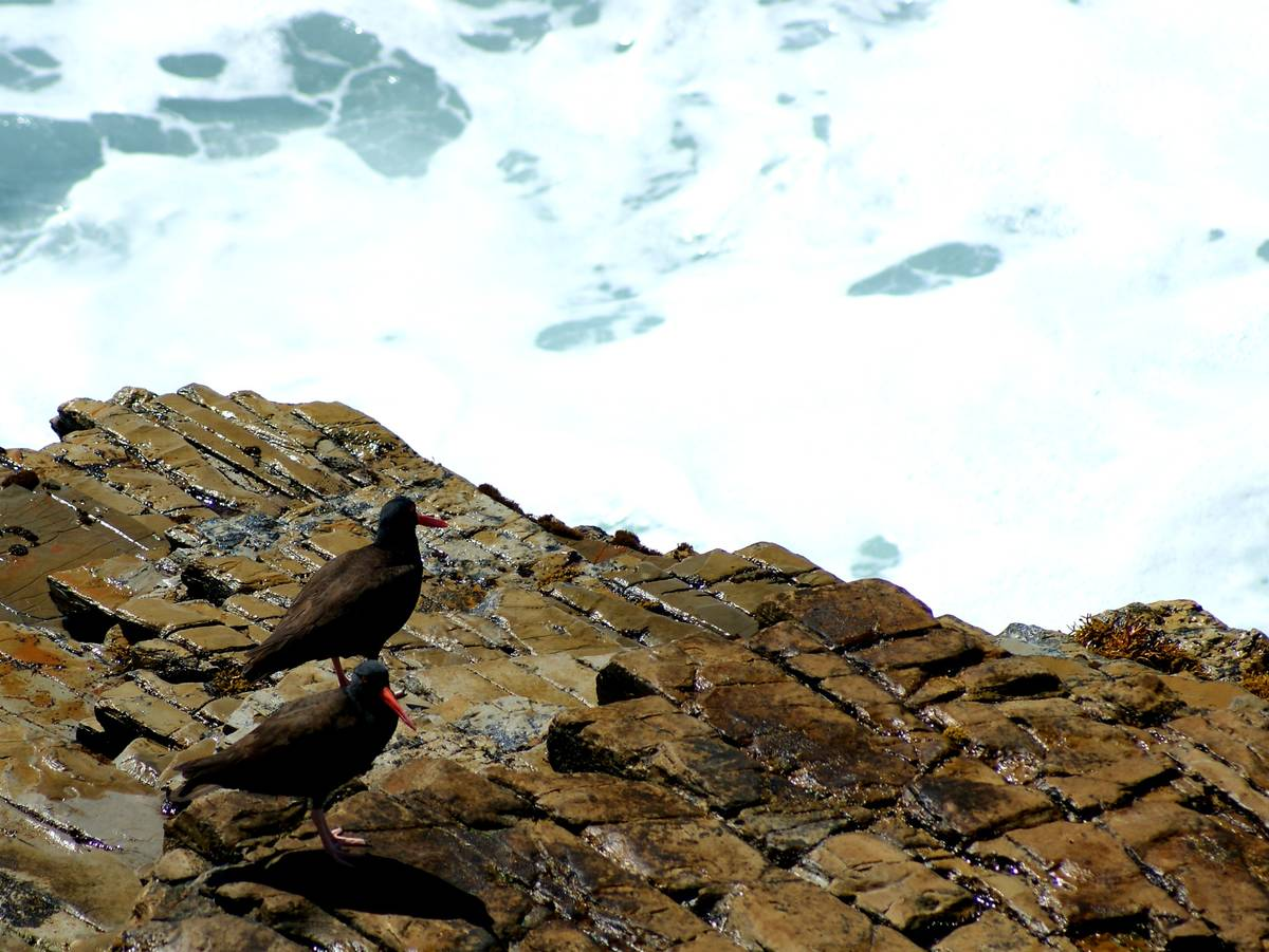 A pair of black oystercatchers above the surf at Montana de Oro State Park on California's ce ...