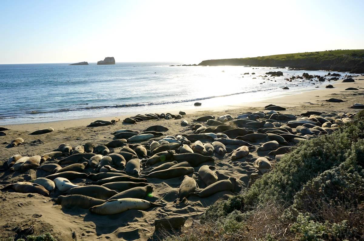 Elephant seals resting at their protected Piedras Blancas rookery near San Simeon on California ...