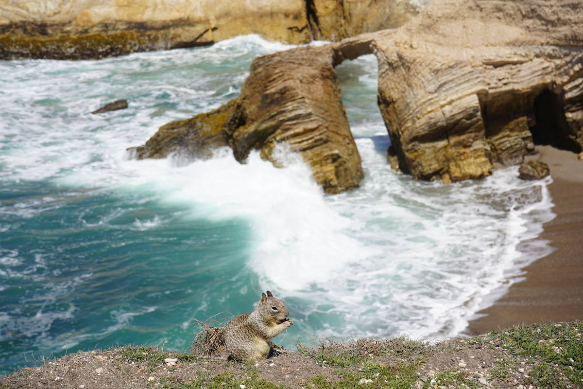 Lunch with a view: Ground squirrel at work along the Bluff Trail at Montana de Oro State Park o ...