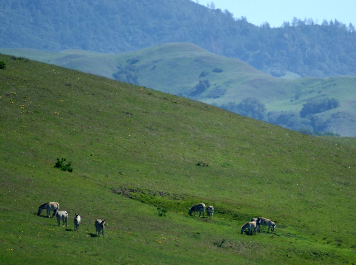 Visible from Highway 1, wild zebras roam the hills south of the Hearst Castle Visitor Center. ( ...