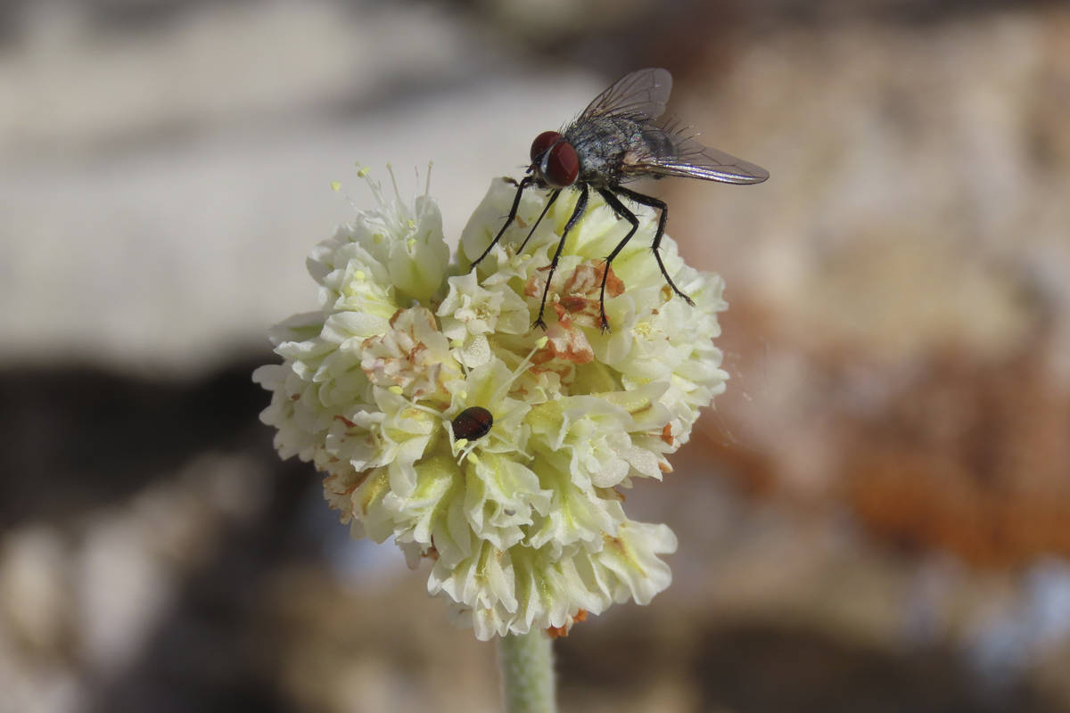 In this provided by Patrick Donnelly and the Center for Biological Diversity, a fly and a beetl ...