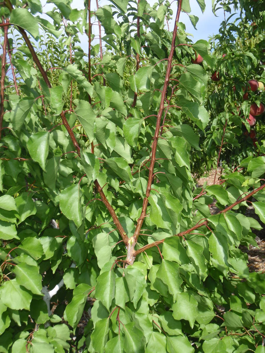 The leaf color on this apricot tree can be used to judge its health and if it needs to be ferti ...