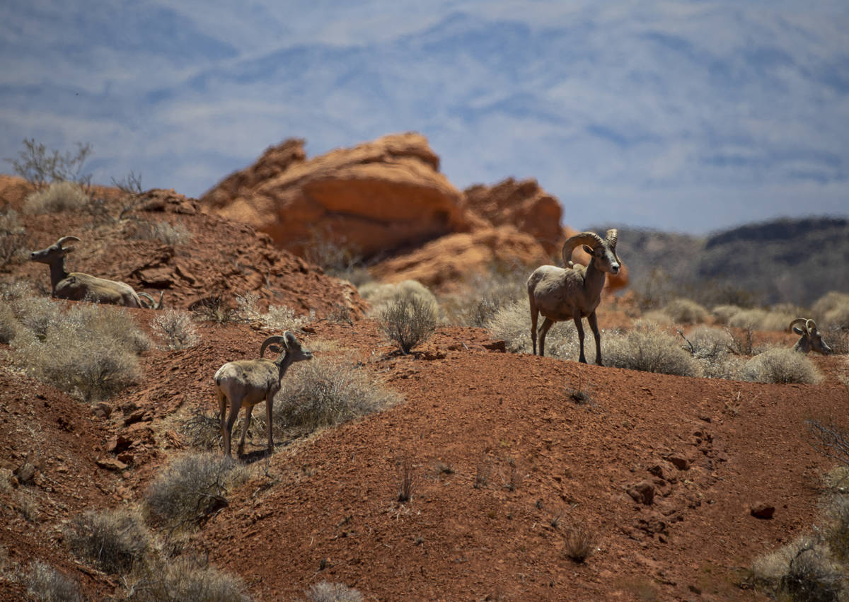 Desert bighorn sheep roam the land at Valley of Fire State Park on Tuesday, June 8, 2021. (Chas ...