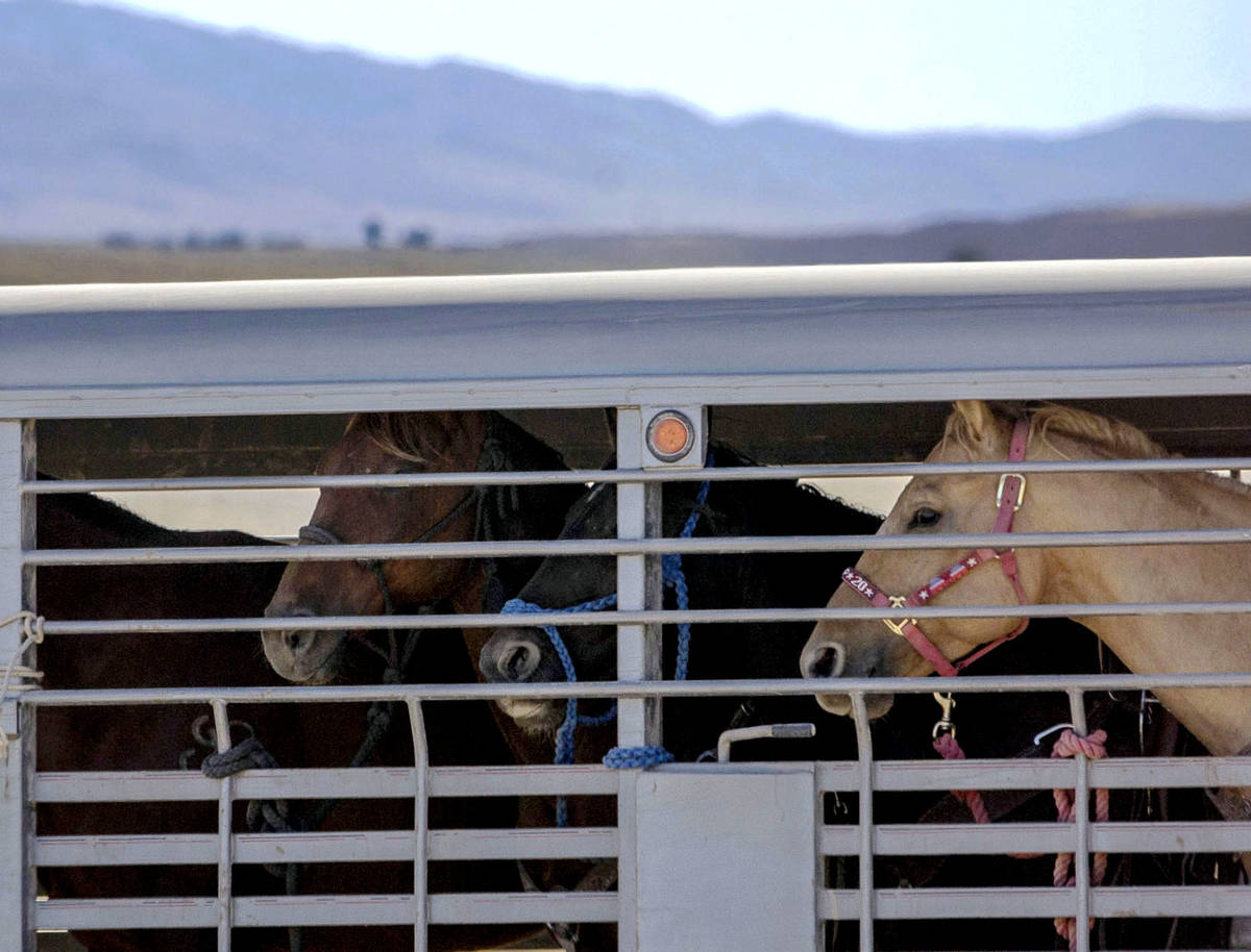 A trailer full of wild horses is transported from the trap to a temporary holding facility duri ...