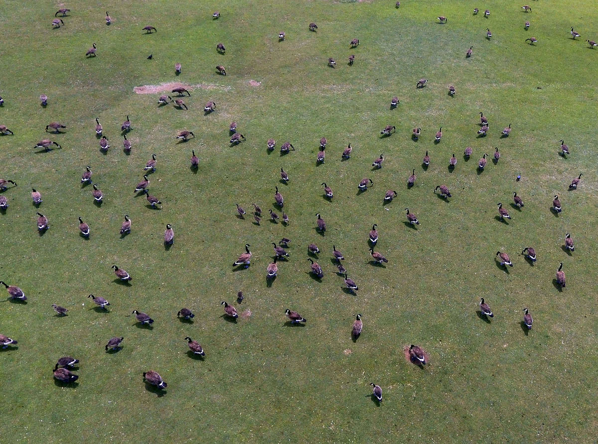 A flock of geese are seen at Cornerstone Park, on Tuesday, June 15, 2021, in Henderson. (Bizuay ...