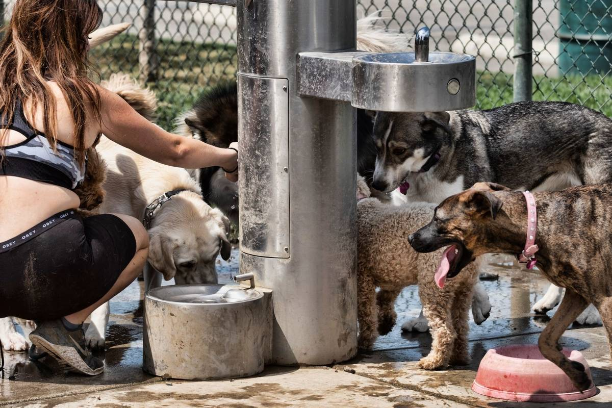 A dog walker gives water from a fountain to her pack of dogs at the Sepulveda Basin Dog park in ...