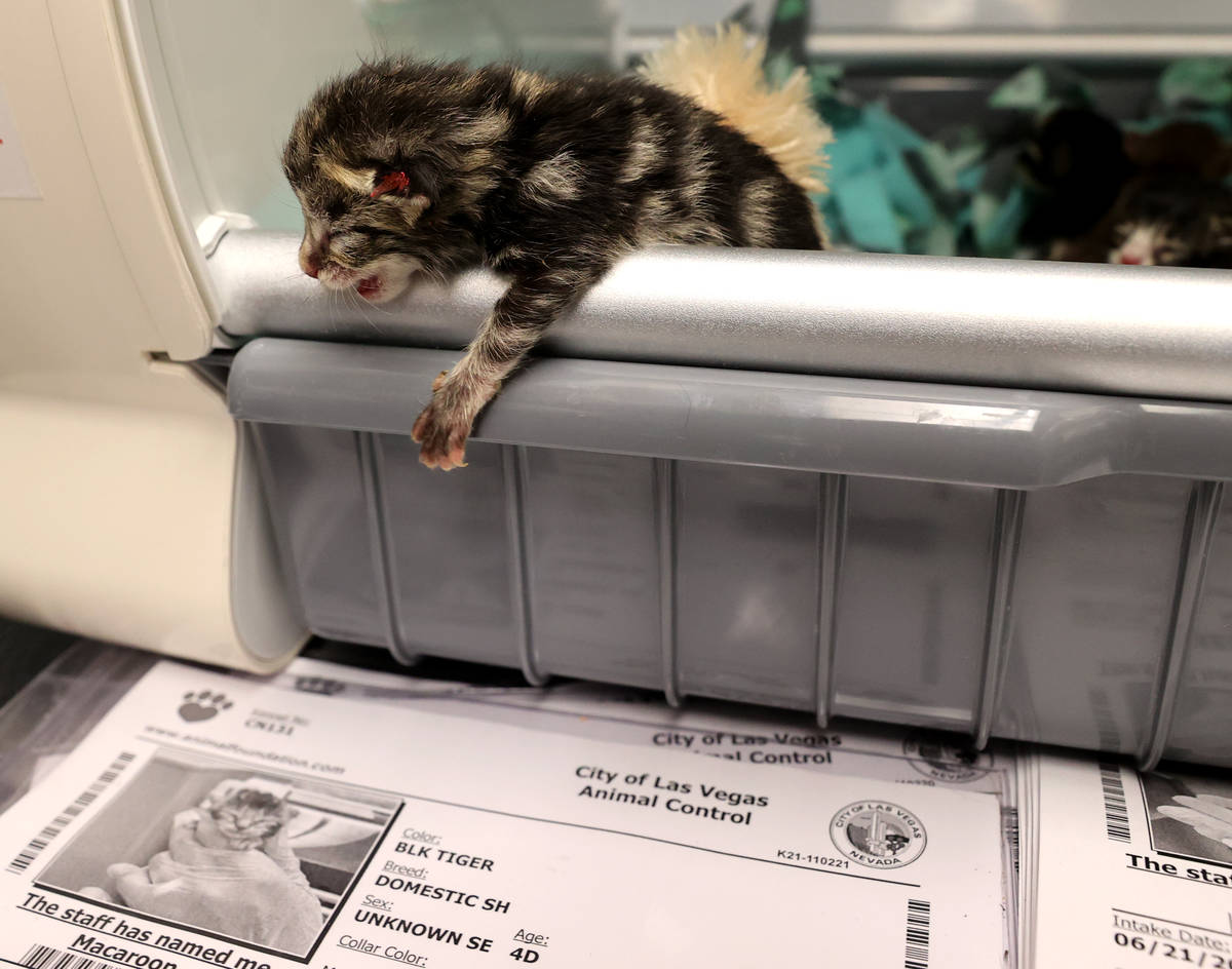 Nine abandoned kittens recover at The Animal Foundation in Las Vegas Wednesday, June 23, 2021. ...