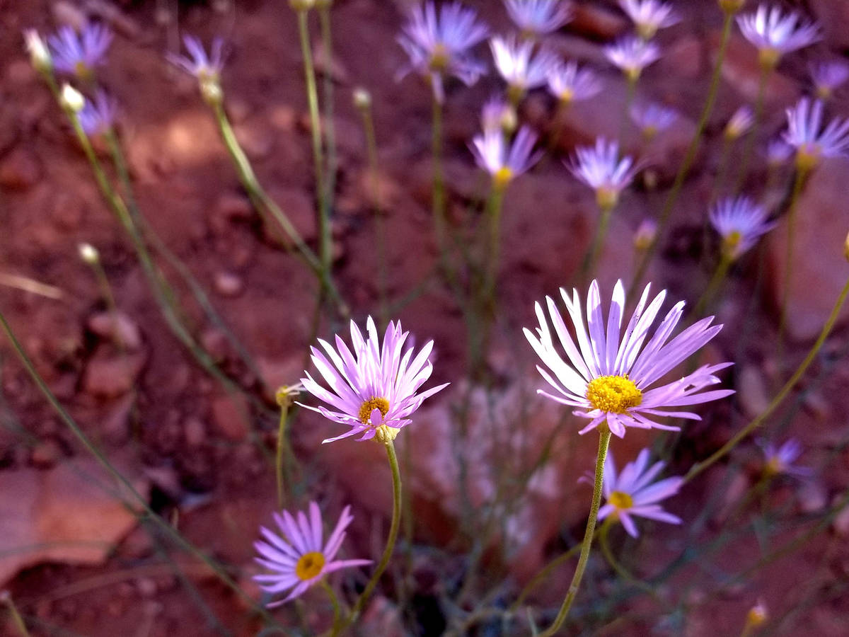 Wildflowers may be found along the Red Hollow trail, where hikers follow the up-and-down path a ...