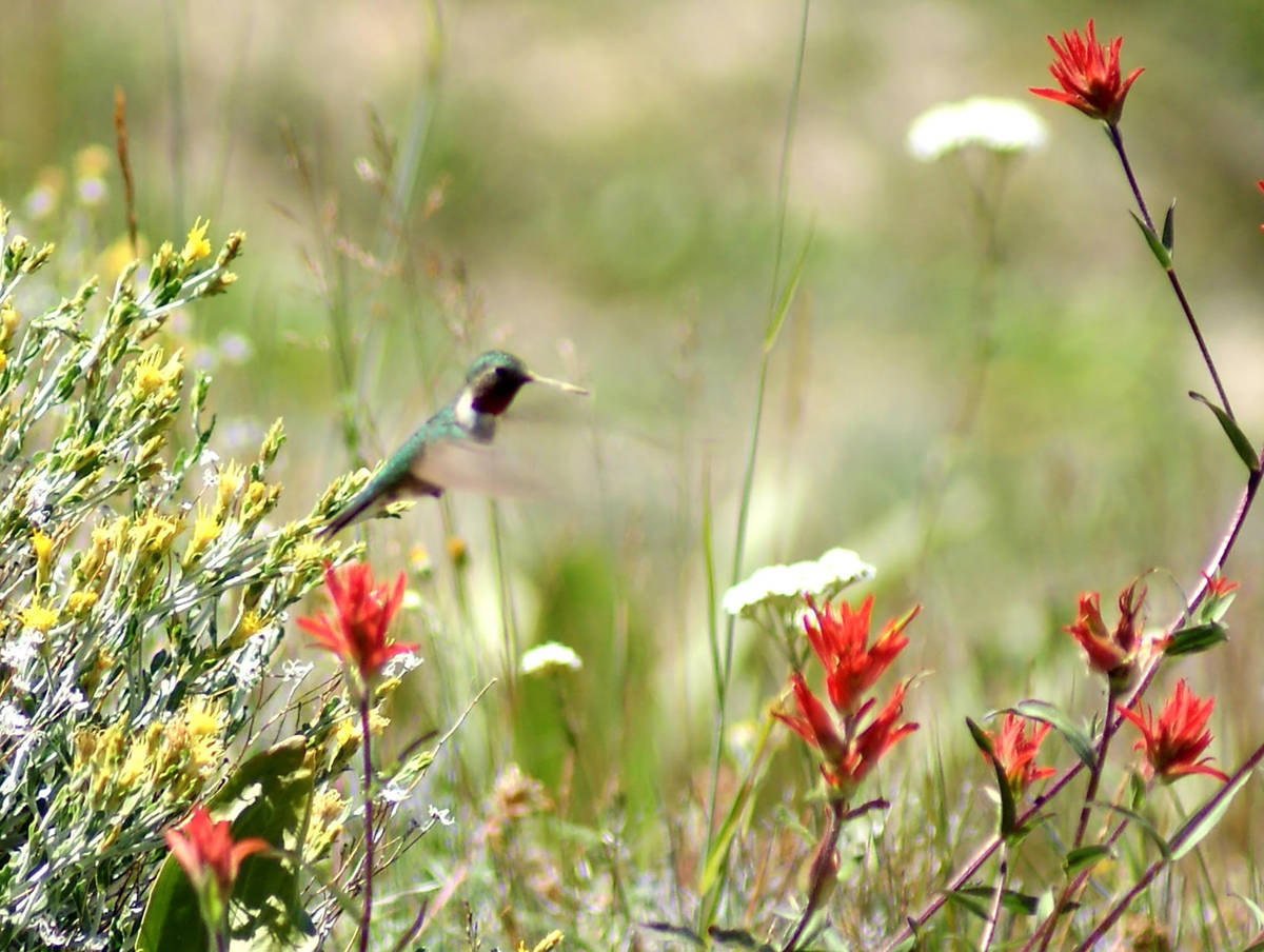 Broad-tailed hummingbird assessing the wildflower nectar inventory at Cedar Breaks National Mon ...