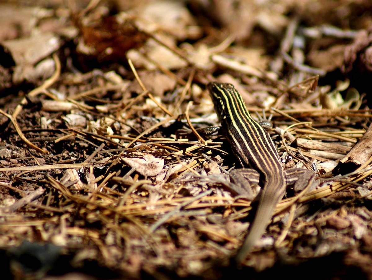 Whiptail lizard at Cedar Breaks National Monument. (Natalie Burt/Las Vegas Review-Journal)