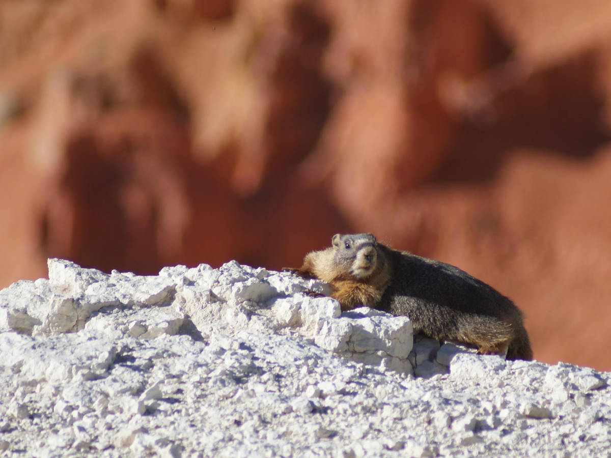 Yellow-bellied marmots may be seen and heard whistling at Cedar Breaks National Monument. (Nata ...