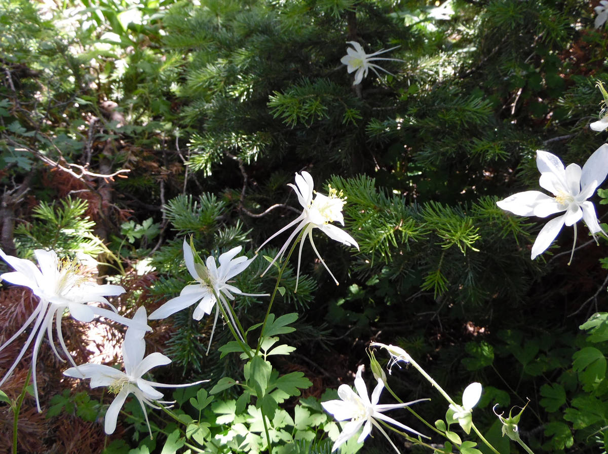 Colorado columbines appear suspended in the greenery at Cedar Breaks National Monument. (Natali ...