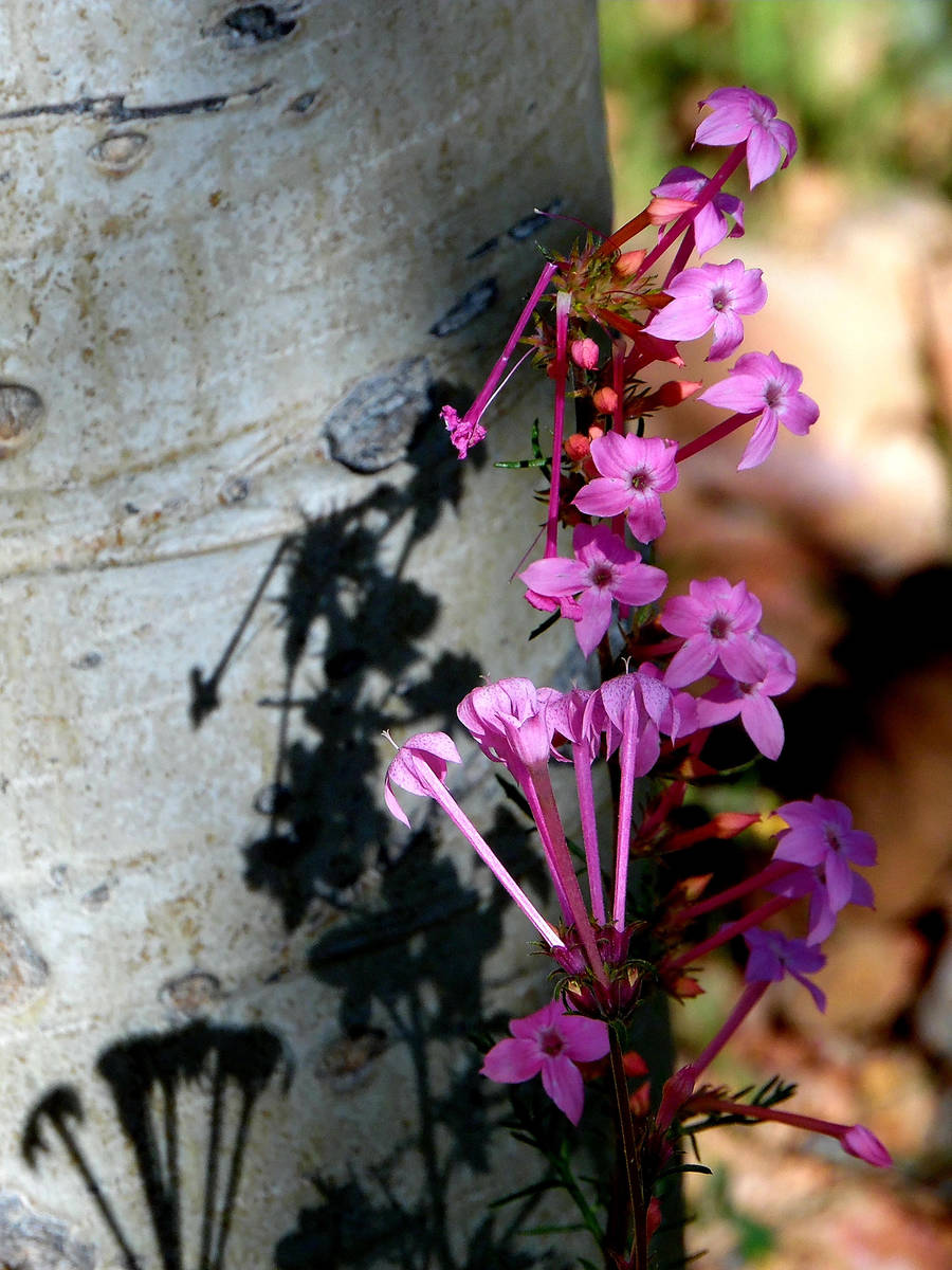 Slendertube skyrockets bloom in aspen groves along Highway 14 in the mountains near Cedar City. ...