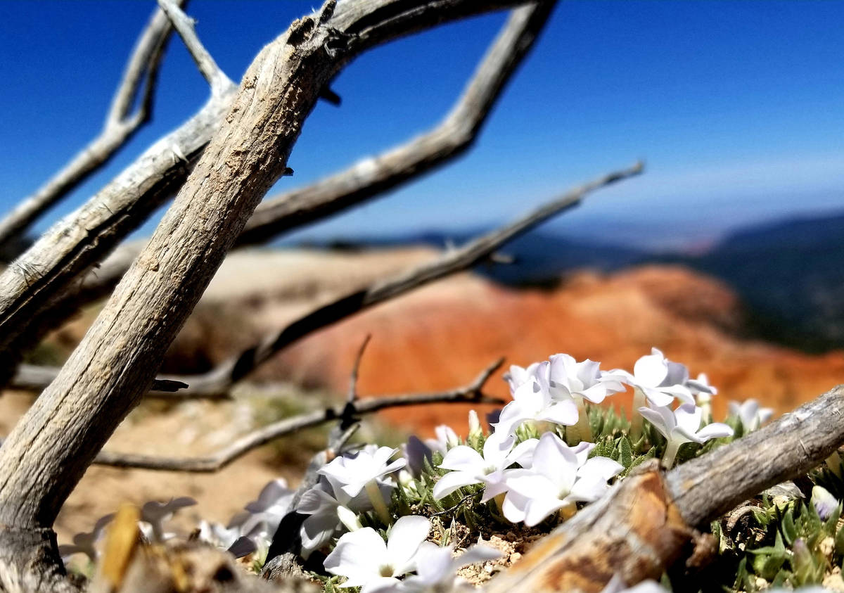 Cushion phlox bloom along the rim above Cedar Breaks on Ramparts Trail, a challenging out-and-b ...