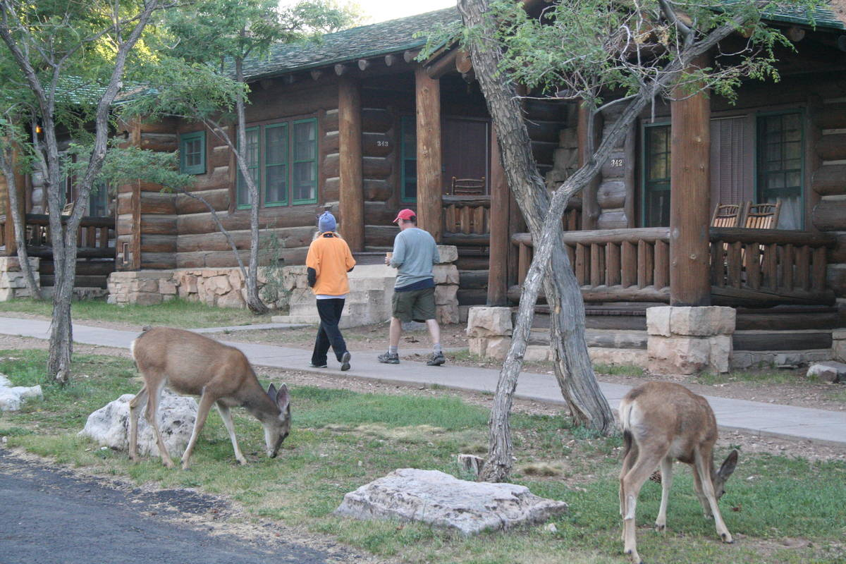 Deer are commonly sighted throughout the North Rim including near the cabins at the Grand Canyo ...