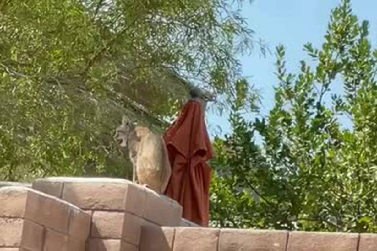 A Las Vegas family had an unexpected visitor on Monday, July 12, 2021 — a bobcat. (Kenny Lee)