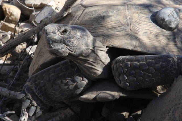 A radioed desert tortoise is a part of a U.S. Geological Survey study in the greater Ivanpah Va ...