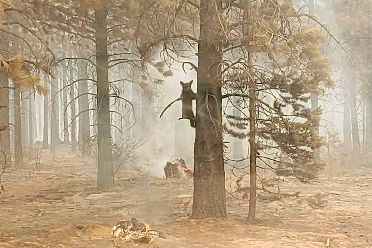 In this photo provided by the Bootleg Fire Incident Command, a bear cub clings to a tree after ...