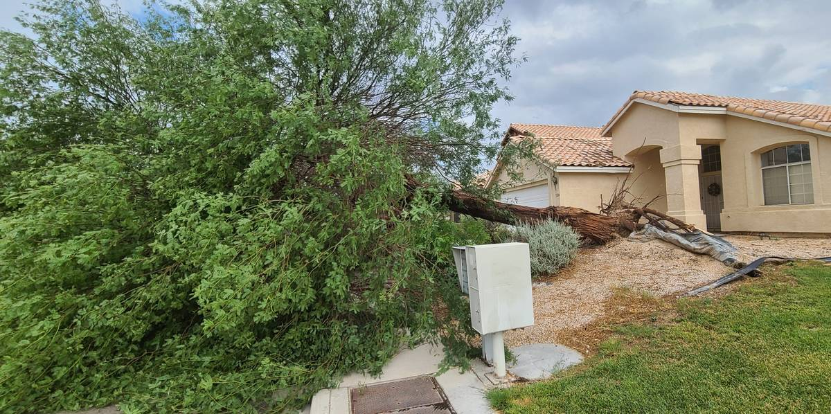 High winds uprooted this tree on West Seaside Drive in North Las Vegas Sunday night, July 25, 2 ...