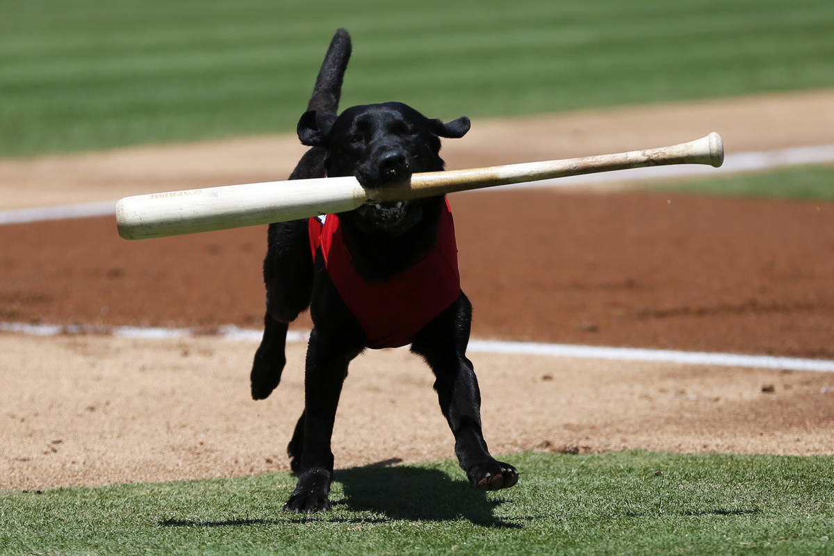 Las Vegas 51s bat dog Finn carries a bat during a game against the Albuquerque Isotopes at Cash ...