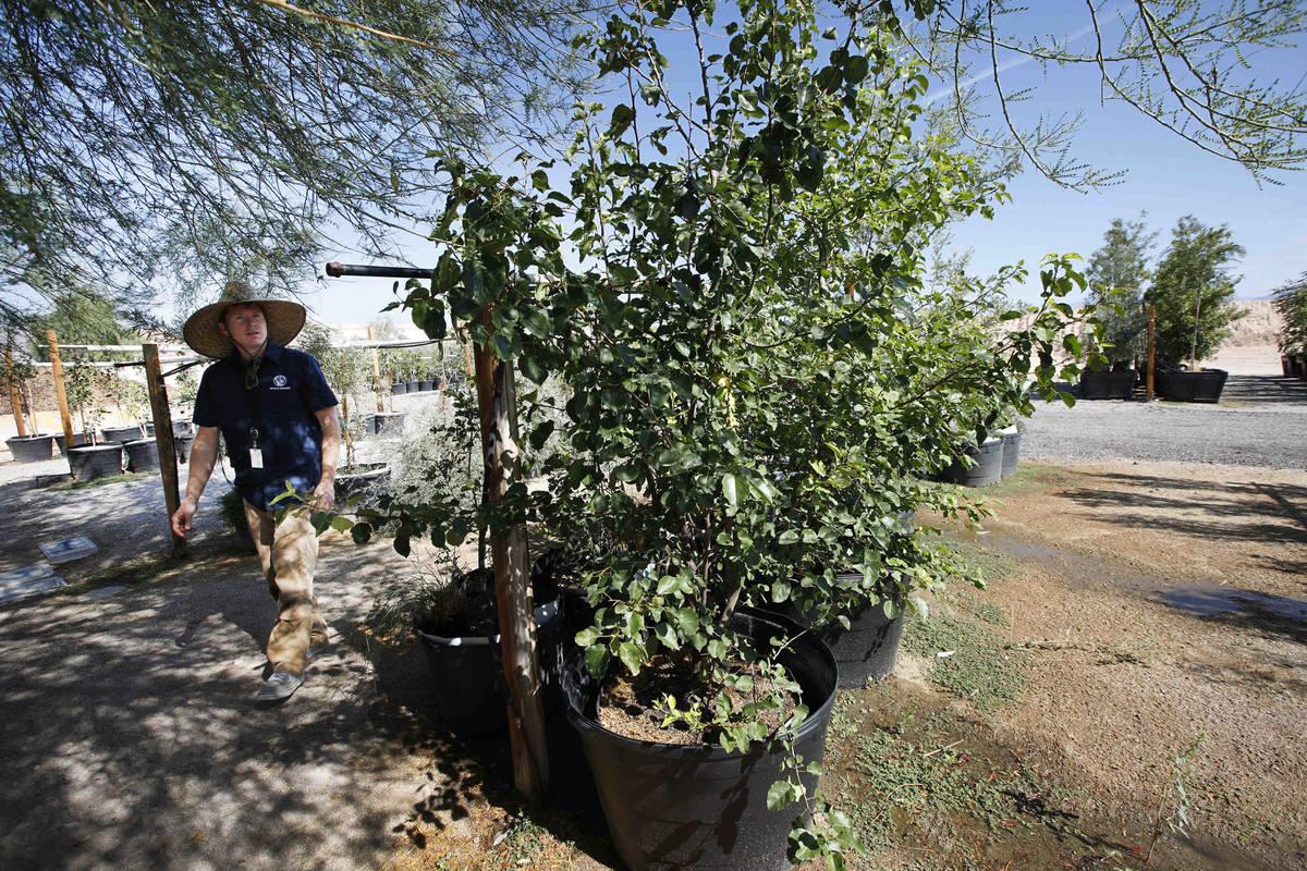 Bradley Daseler, urban forester from the city of Las Vegas, walks by two ornamental pear seedli ...