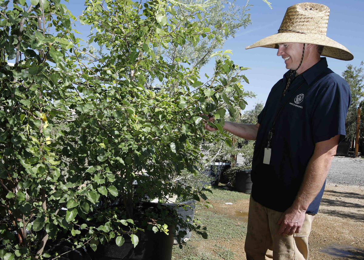 Bradley Daseler, urban forester from the city of Las Vegas, stands by two ornamental pear seedl ...