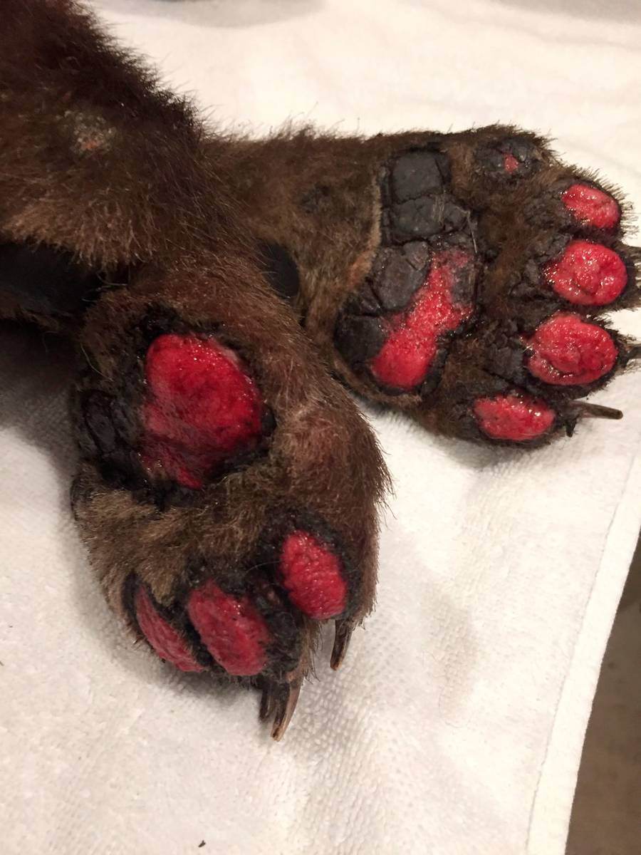 The burned paws of a bear cub are seen at Lake Tahoe Wildlife Care in South Lake Tahoe, Calif., ...