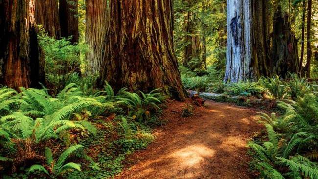 Venture to the Redwood National and State Parks, wherever  the tallest trees connected  Earth — redwoods, ...