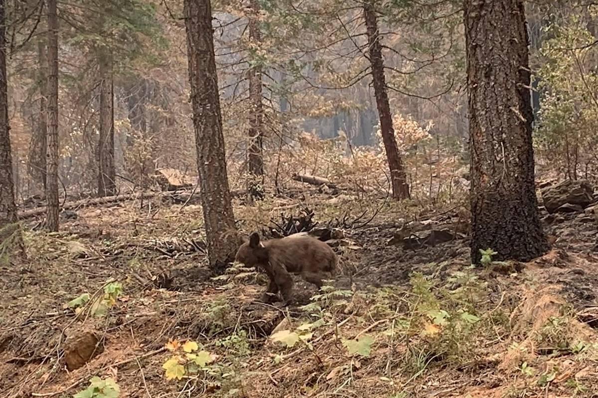 An orphaned bear cub walks alone through an area impacted by the Dixie Fire in Plumas County, C ...
