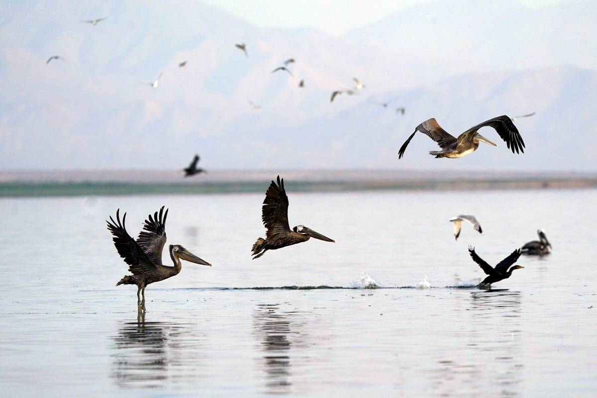 Pelicans take flight in the Salton Sea on the Sonny Bono Salton Sea National Wildlife Refuge Th ...