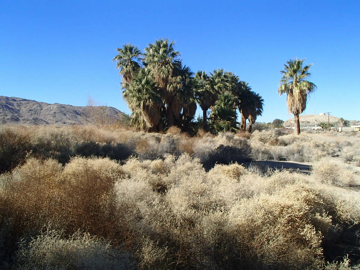 Desert palms, or California palms, are found as native palms in the desert clustered around wat ...