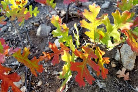 Gambel oak at its prettiest during autumn along the Acastus trail just below the Retreat on Cha ...