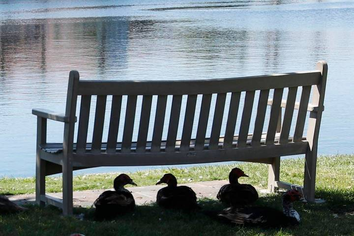 Ducks sit under a bench along Mariner Drive in Las Vegas, Friday, Aug. 27, 2021, to avoid stron ...