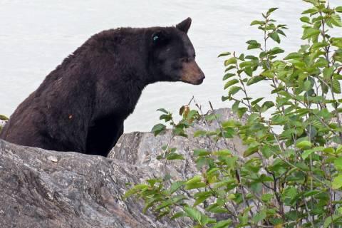A black bear is seen on the rocks near the Mendenhall Glacier on Thursday, Sept. 15, 2011, in J ...