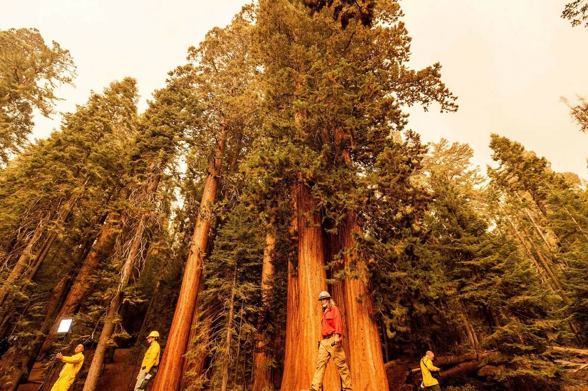Members of the media walk among sequoia trees in Lost Grove as the KNP Complex Fire burns about ...