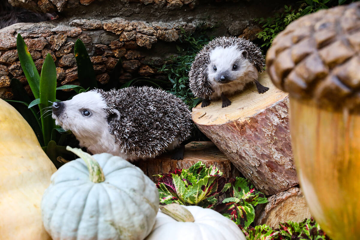 """Hedgehogs in the north bed in the autumn exhibit """"Deeper into the Forest"""" is on d ..."""