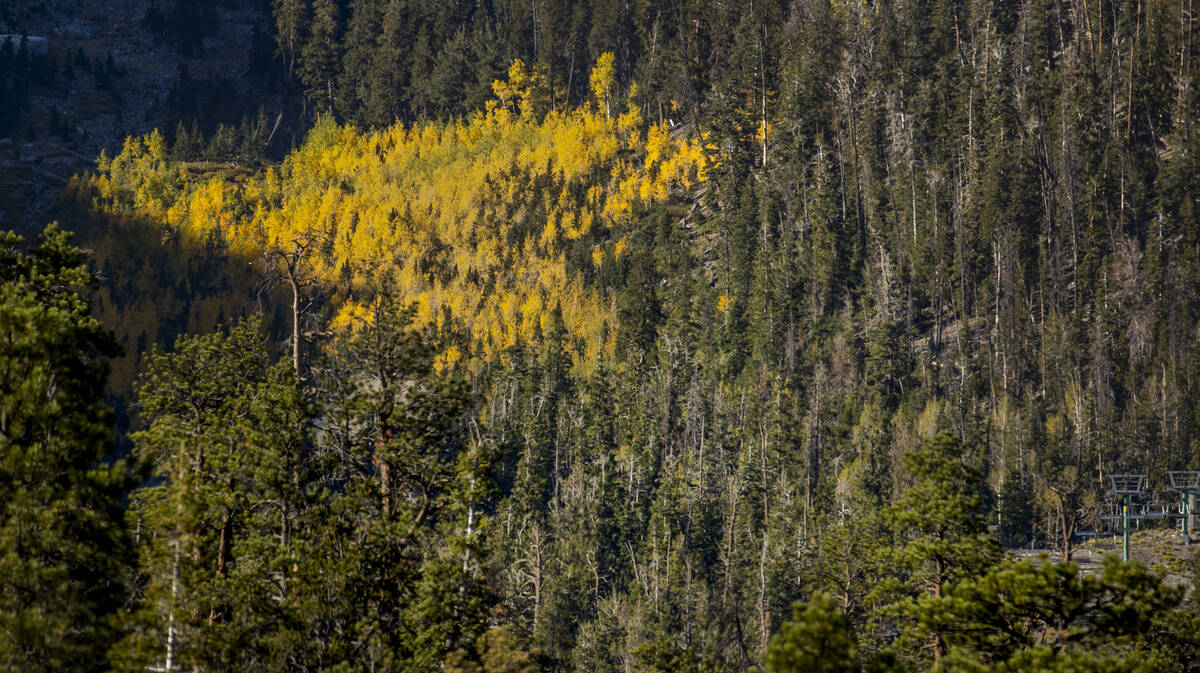 A large stand of Aspens turns color on the first day of fall above the Lee Canyon ski resort li ...