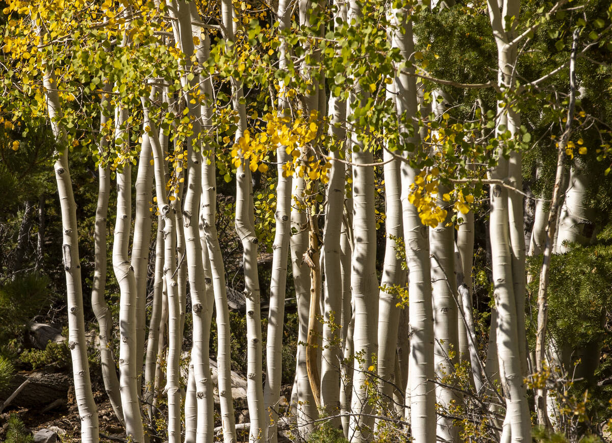A stand of Aspens turns color on the first day of fall near the Lee Canyon ski resort on Wednes ...
