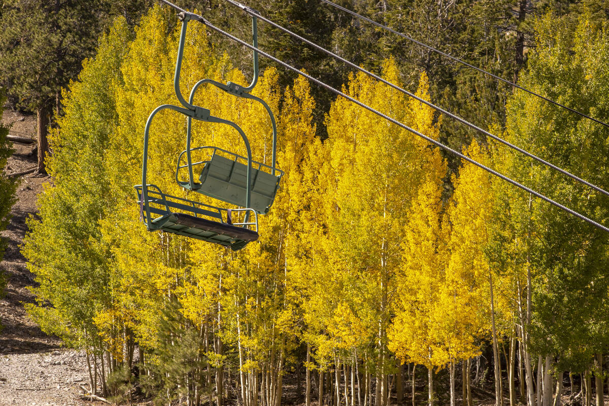 A stand of Aspens turns color on the first day of fall about the ski lift above the Lee Canyon ...