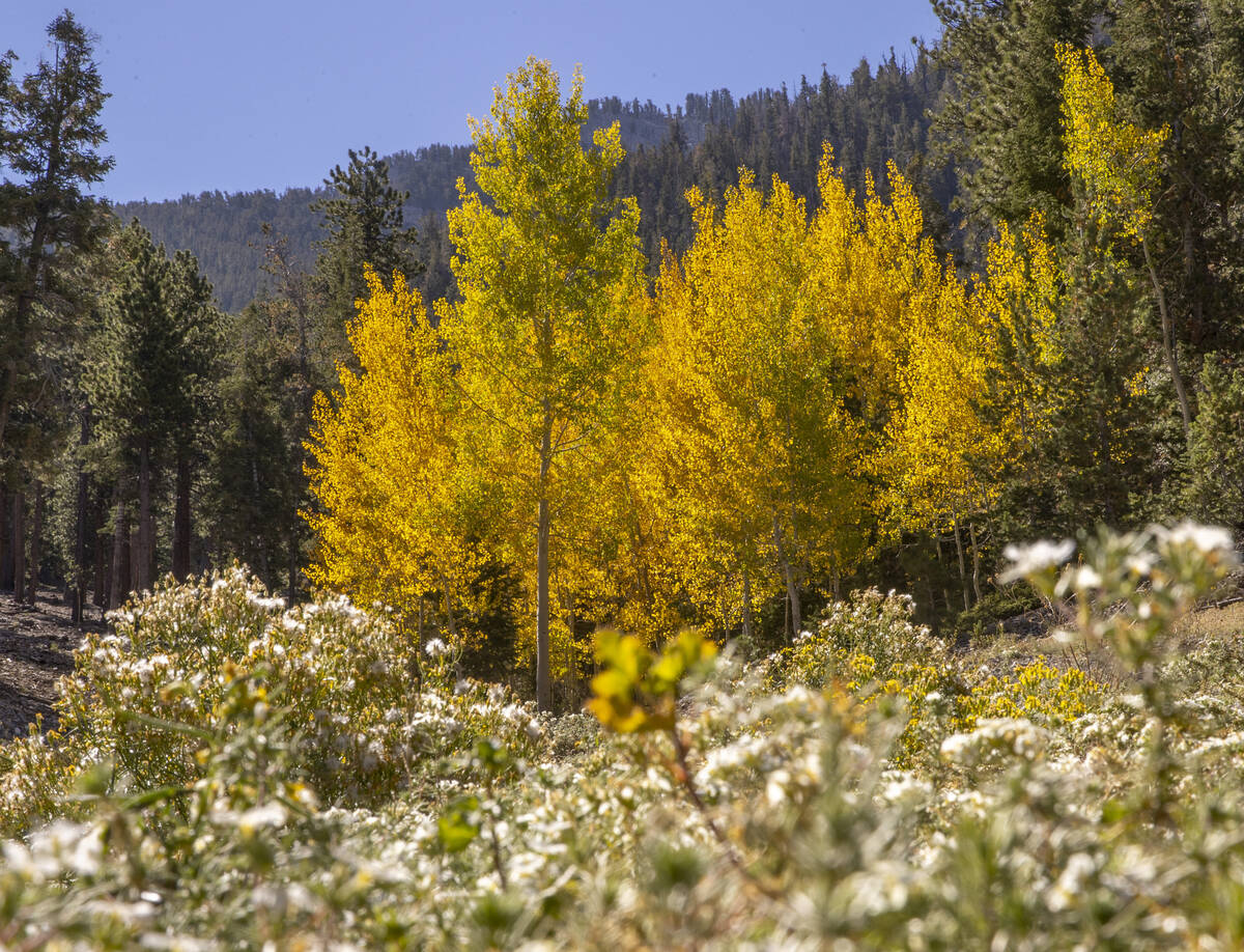 A stand of Aspens turns color on the first day of fall about a carpet of flowers in the woods a ...