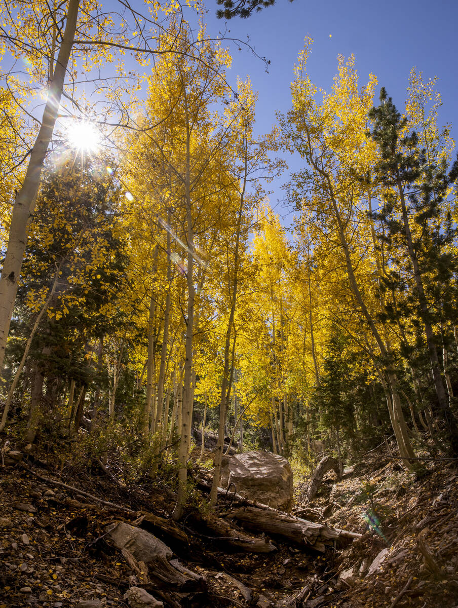 A stand of Aspens turns color on the first day of fall in the woods above the Lee Canyon ski re ...