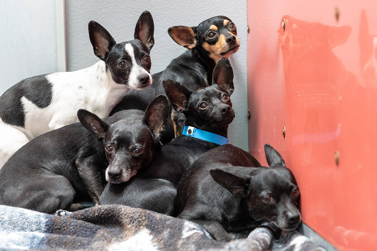 Chihuahuas await medical and behavioral assessments as well as treatment at The Animal Foundati ...
