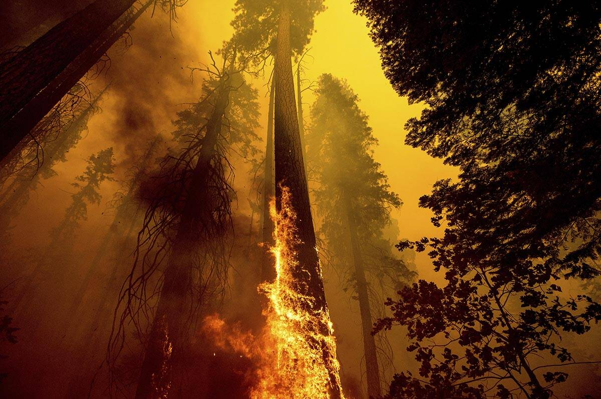 Flames burn up a tree as part of the Windy Fire in the Trail of 100 Giants grove in Sequoia Nat ...