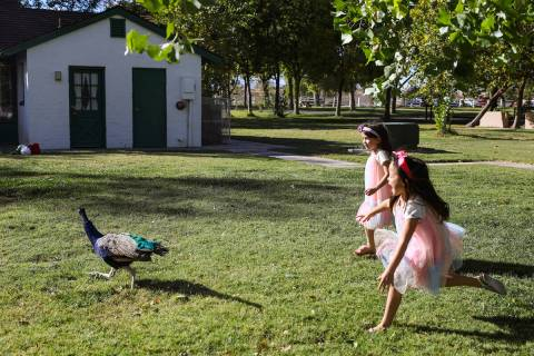 Anelia Olsen, 6, far right, and her twin Mya Olsen, 6, left, chase a peacock after doing a phot ...