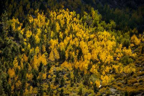 A large area of colorful Aspens are turning high on the cliffside in Kyle Canyon on the first d ...